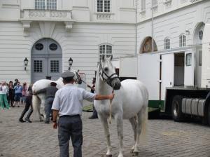 Les Lipizzans sont d'un blanc immaculé. Remarquez en arrière-plan le cheval qui veut faire à sa tête...