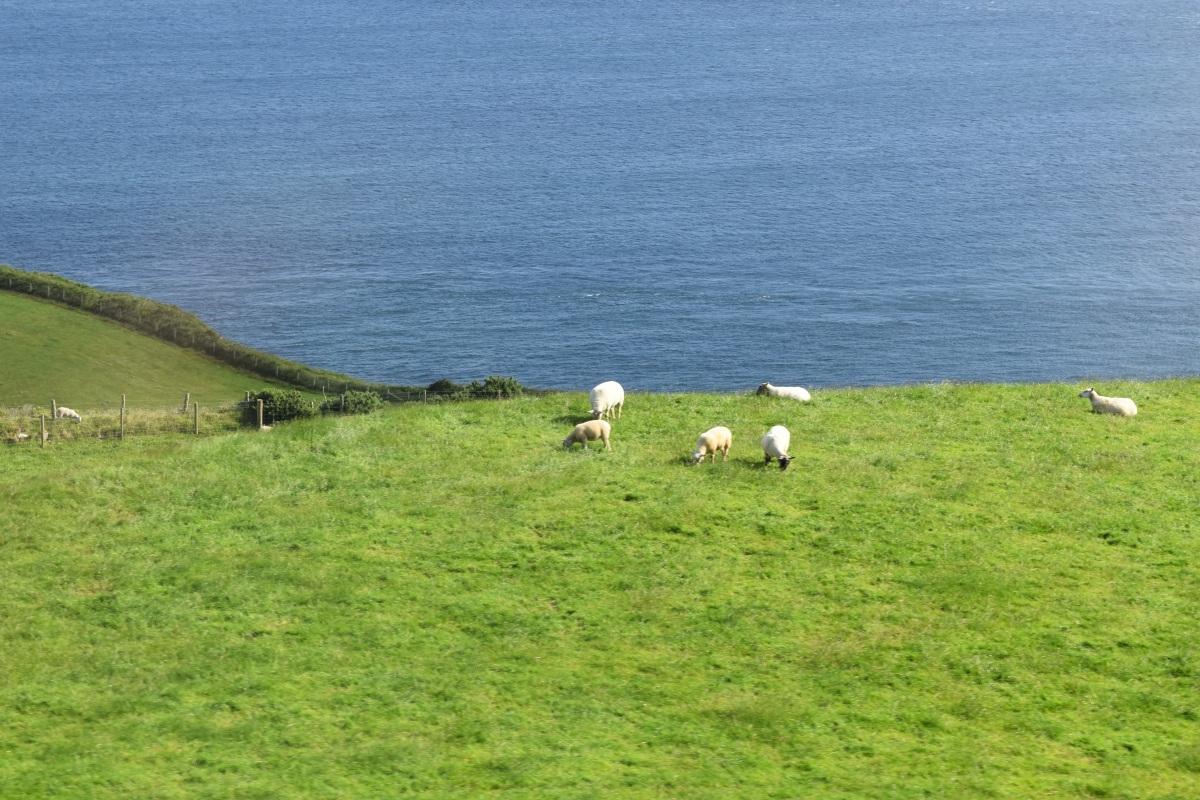 Irlande, pays des moutons